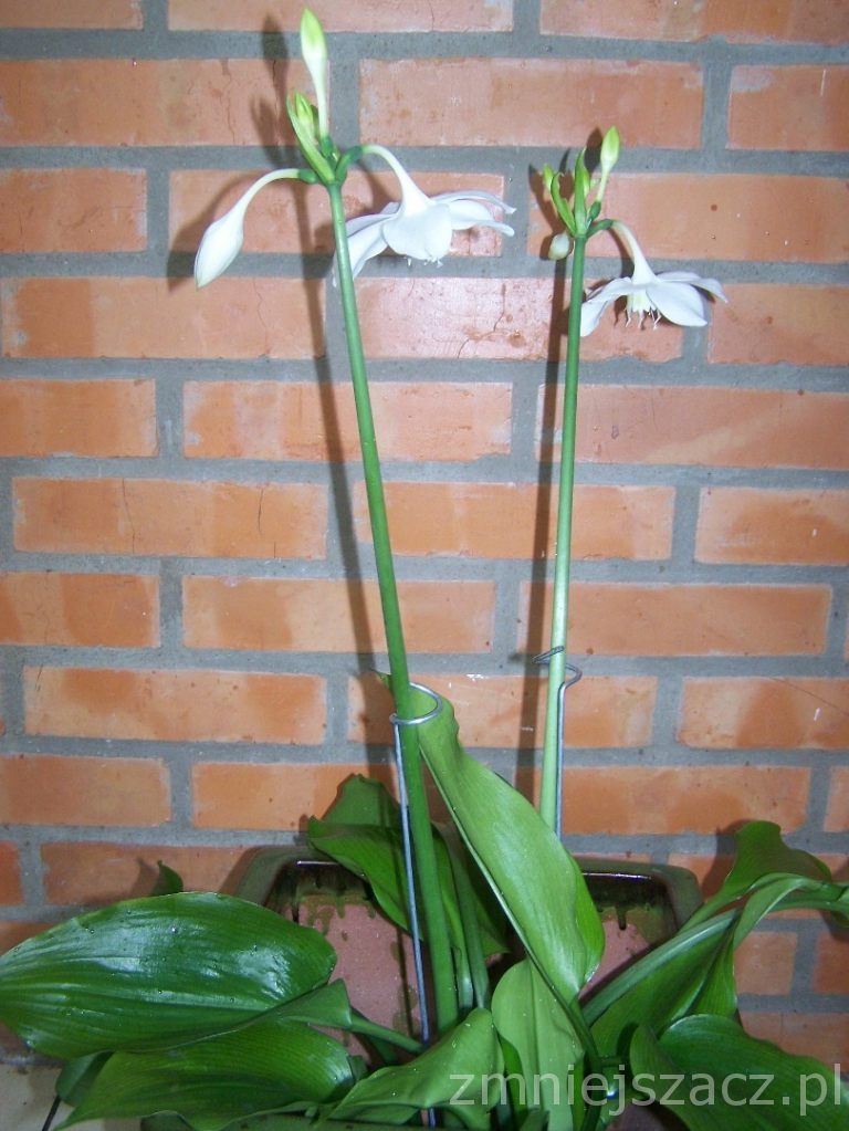 Eucharis amazonica- Lilia amazońska